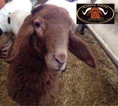 Llama Alpaca, Alpacas, Camels, Animals And Pets, Sheep, Goats, Dairy, Portraits, Dreams