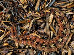 Picture of a rhino viper camouflaged in a pile of leaves in Cameroon