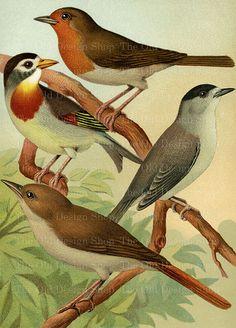 Bird Art Vintage Printable Nightingale Robin by TheOldDesignShop
