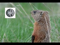 Very curious Woodchuck Mammals, Wildlife, Nature, Facebook, Twitter, Wall, Youtube, Blog, Animals
