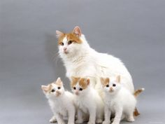 Smallest cat breeds list with funny fact and pictures about them. More cat breeds list? Visit my website. Turkish Van Cats, Turkish Angora Cat, Angora Cats, Small Cat Breeds, Cat Breeds List, Dog Breeds, Burmilla, Pretty Cats, Beautiful Cats
