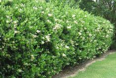 Japanese or wax privet shrub (Ligustrum japonicum): Zones 7-10, Height: 11 - 20, Spread: 6 - 10, Fast Growth Rate, Part Sun/Full Sun