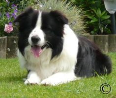 Monty aka Glenrock Montesumo - stud dog at SpenKen Border Collies and sire of our Ruby