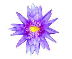 Blue lotus isolated on white