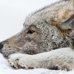 Wolf. Chukotka, Russia. Photo by Ivan Kislov.