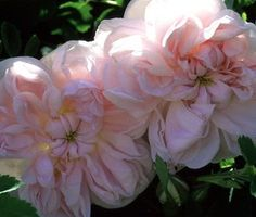 """""""Stanwell Perpetual"""" Classic English rose bush, exceptionally fragrant, winter hardy"""