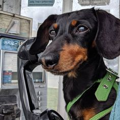 """""""Hi Mum? It's Crusoe. Listen I've run away from home and not coming back until you agree to move my dinner to """"Hi Mum? It's Crusoe. Listen I've run away from home and not coming back until you agree to move my dinner to Crusoe via Crusoe The Celebrity Dachshund, Funny Animals, Cute Animals, Running Away From Home, Comedians, Best Dogs, Dogs And Puppies, Cute Pictures, Dachshunds"""