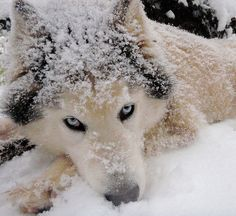 Husky. For great adventure holidays in cold places! click here: http://scripts.affiliatefuture.com/AFClick.asp?affiliateID=263069&merchantID=4626&programmeID=12015&mediaID=0&tracking=&url=