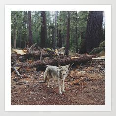 Injured Coyote Art Print by Kevin Russ