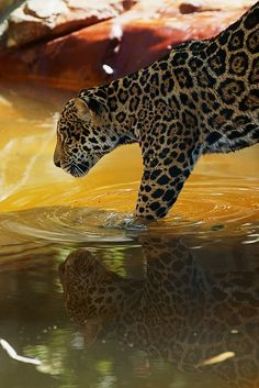 Jaguar and tiger are big cats that love swimming in water Beautiful Cats, Animals Beautiful, Cute Animals, Jungle Animals, Stunningly Beautiful, Wild Animals, Jaguar, Ocelot, Lynx