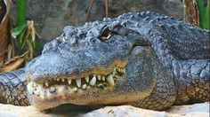 Alligator bites off Florida woman's arm: http://oak.ctx.ly/r/3i836