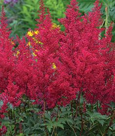Astilbe, Burgundy Red.Spectacular scarlet-red flowers held in arcing, pluming, lacy panicle.