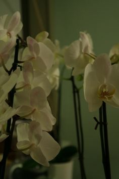 Phalaenopsis orchids waiting to be made into a stunning bouquet.