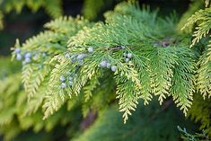 Cypress and arborvitae tend to develop flat, scaled needles and have rather flexible branches. Junipers have short, spiky needles.