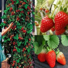 Toscana Strawberry Seeds Climbing Strawberry seed by Greenworld1