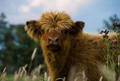 Highlander Calf - lovely hair do