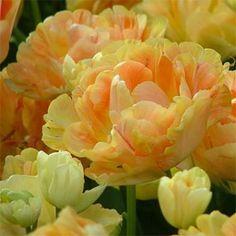 Тюльпан Сharming Beauty (луковицы)