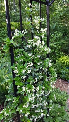 Garden decoration with jasmine the most popular climbing plant Gartendekoration mit Jasmin die belie Amazing Gardens, Beautiful Gardens, Garden Stand, Florida Gardening, Garden Care, Diy Garden Decor, Winter Garden, Shade Garden, Backyard Landscape Design