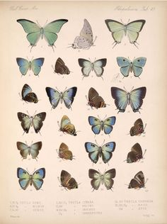 Smithsonian Institution Libraries Detail of Butterflies and Moths Image no.bca_14_03_00_060