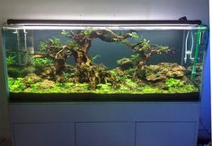 Green Chapter - Planted Tank A 5ft showtank in our Vietnam, Ho Chi Minh Shop Maintained by Green Chapter. Tank Size 150 x 60 x 60 cm