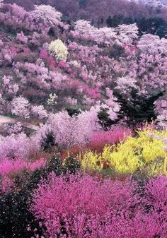 Flowers in full bloom, Hanamiyama Park, Fukushima, Japan