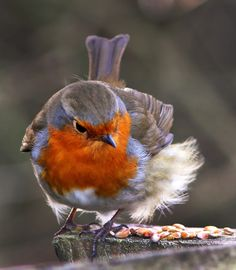 Fluffy robin by Lewis Outing on 500px