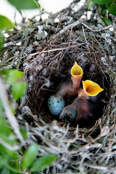 Hungry Baby Mocking Birds in their nest Pretty Birds, Love Birds, Beautiful Birds, Animals Beautiful, Animals Amazing, Pretty Animals, Nester, All Gods Creatures, Fauna