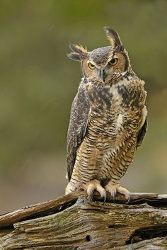 Great Horned Owl by Jerry Peltier on 500px
