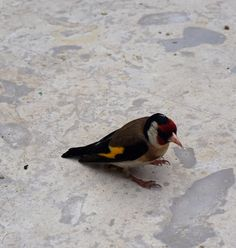 This Stilits bump in to my window, but happily recovered after a while. Carduelis carduelis
