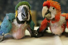 Ahhhh, baby macaws. So cute, so smart, so playful, so inquisitive. Blue and gold on left, green wing on the right.
