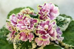 African Violet Saintpaulia RS Annabel ~ New Russian Variety | eBay RS - Annabel New variety from 2011  Hybridized by: Svetlana Repkina Large, semi-double, white flowers with raspberry-color meanings and wide green lace. Medium green foliage, wavy.Standard