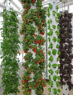 Not far from Orlando, Florida, an organic orange farmer and a biologist with Epcot Center experience have teamed up to build the true farm of the future. On a rooftop above their city center, Green Sky Growers use aquaponics and vertical farming to grow Vertical Vegetable Gardens, Hydroponic Gardening, Garden Design, Vertical Garden, Plants, Urban Garden, Small Space Gardening, Small Gardens, Vegetable Garden