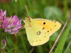 Clouded Yellow, Colias crocea - Butterflies - NatureGate