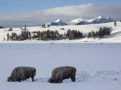 Bison feeding on Yellowstone's Swan Lake Flat in winter.