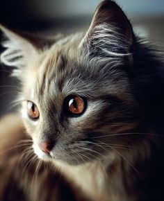Latest Images fluffy Cat Breeds Concepts : Some people imagine that pet cats are simply kittens and cats, understanding that just about all the same. Cute Cats And Kittens, Baby Cats, Cool Cats, Kittens Cutest, Baby Animals, Cute Animals, Cutest Cats Ever, Wild Animals, Pretty Cats