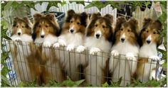 Shelties Collies ...........click here to find out more http://googydog.com