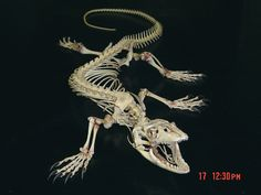 lizard skeleton