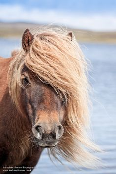 Shetland Pony by Andrew J Shearer, via 500px