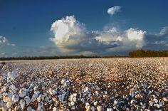 Alabama cotton fields.