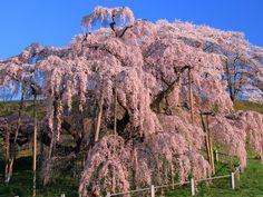 cherry blossom #Fukushima