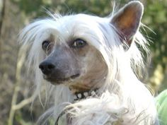 Chinese Crested...