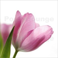 Tulpenblüten Quadratisches Wandbild Poster von Tanja Riedel