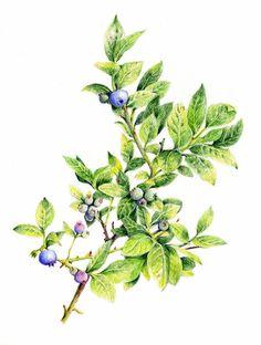 blueberry botanical art - Google Search