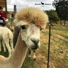 Alpaca Facts for kids:  While some people might accidentally get these interesting animals confused with llamas alpacas are actually a totally different animal.  While they might look similar alpacas are much smaller than llamas.  Another big difference between llamas and alpacas is how they work with people.  Llamas have always been used as beasts of burden while alpacas are strictly bred for their wool.  #Quenti #Wellington #Alpaca #Facts Alpaca Facts, Llama Alpaca, Interesting Animals, Facts For Kids, Alpacas, Confused, Wool, Big, People