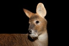 Chinese Water Deer (Hydropotes inermis) | 16 Adorable Animals That We're Pretty Sure Are Aliens