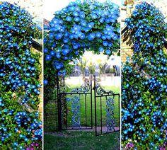 Посадка и выращивание однолетней ипомеи через рассаду. | Красивый Дом и Сад