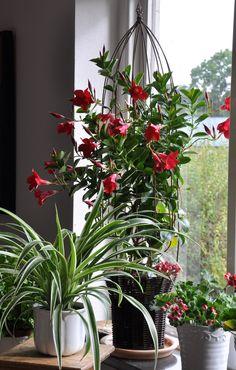Mandevillan ska flytta in till vintern om du vill behålla din planta. Plants, Ska, Plant, Planting, Planets