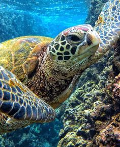 Are you thinking of buying a tortoise to keep? Tortoise pet care takes some planning if you want to be. Sea Turtle Images, Sea Turtle Pictures, Sea Turtle Art, Turtle Love, Animals Beautiful, Cute Animals, Sea Turtle Painting, Tortoise Turtle, Cute Turtles
