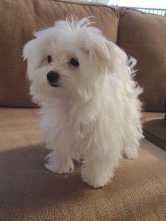 Maltese - Coconut at 5 months Productos especializados para el bichon maltes. Puppies And Kitties, Cute Puppies, Cute Dogs, Doggies, Cute Baby Animals, Animals And Pets, Maltese Dogs, Teacup Maltese, Maltese Poodle