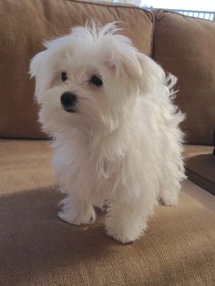 Maltese - Coconut at 5 months